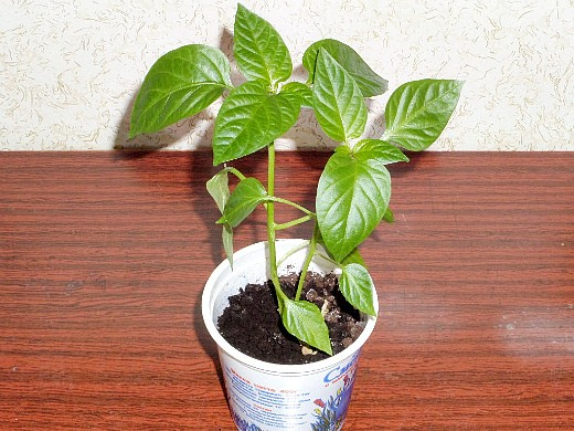 выращивание рассады сладкого перца в домашних условиях готова к посадке на даче