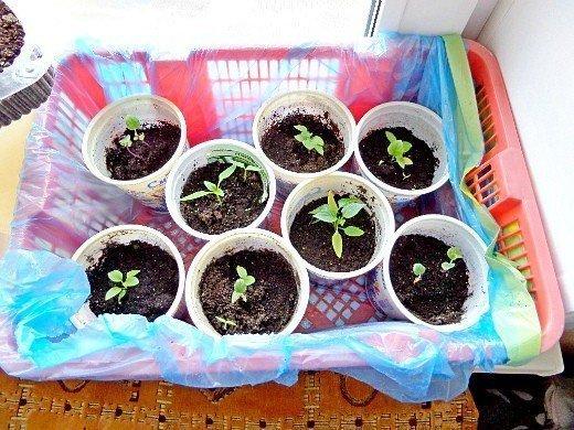 выращивание рассады сладкого перца в домашних условиях - пикировка
