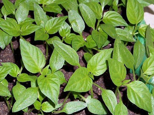 выращивание рассады сладкого перца в домашних условиях - ростки перца