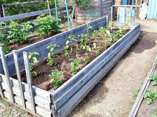 выращивание рассады сладкого перца в домашних условиях, высаженная в дачном парнике