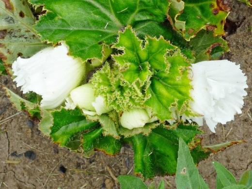 бегония садовая белая на альпийской горке