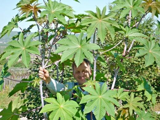 клещевина выращивание 1-1