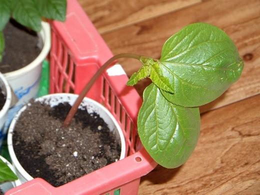 клещевина выращивание 1-3