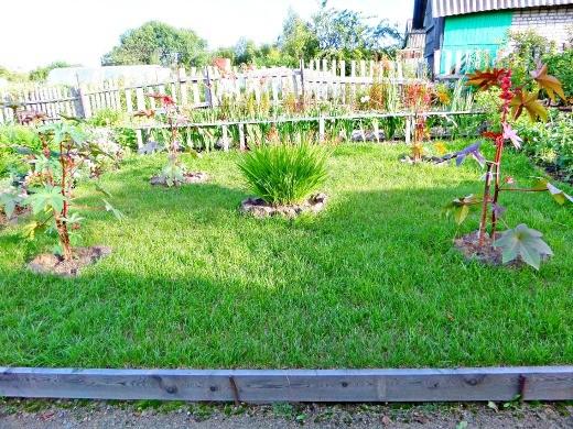 клещевина выращивание - дизайн на газоне с монтбрецией посередине
