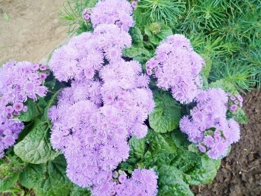 цветок агератум голубой