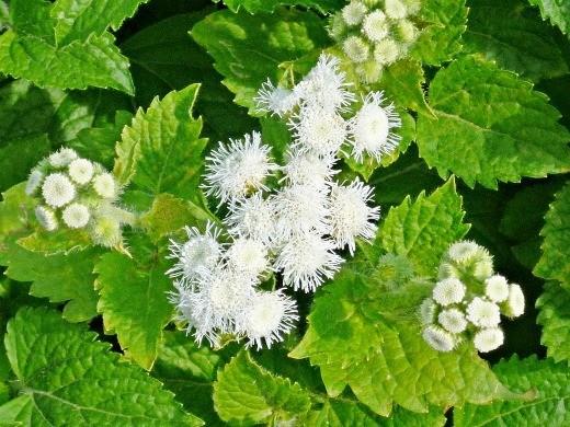 цветок агератум белый