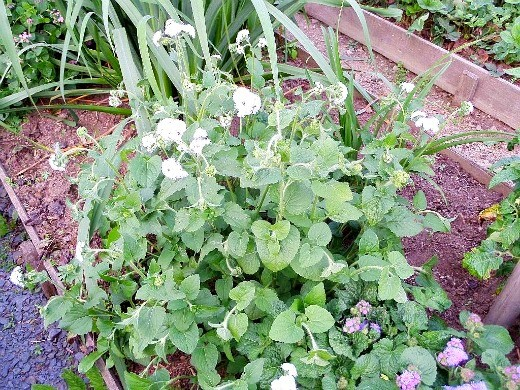 цветок агератум на даче