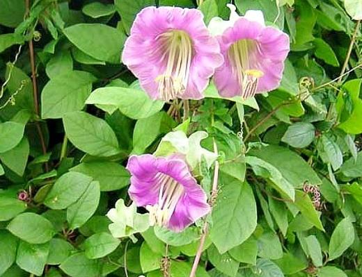 розовый цветок кобея, выращивание на даче
