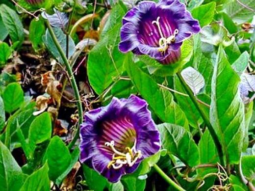 фиолетовый цветок кобея, выращивание на даче