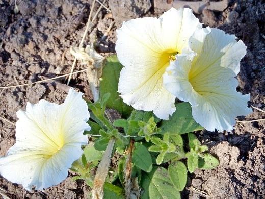 цветок петуния, простая белая