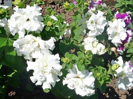 цветок петуния, белая махровая