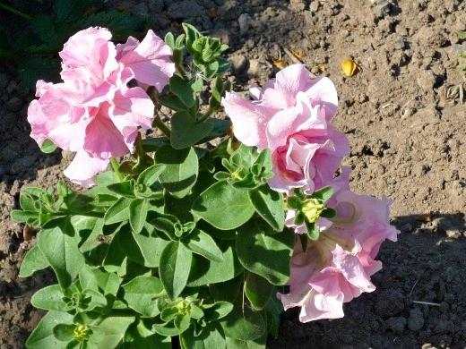 цветок петуния, махровая розовая