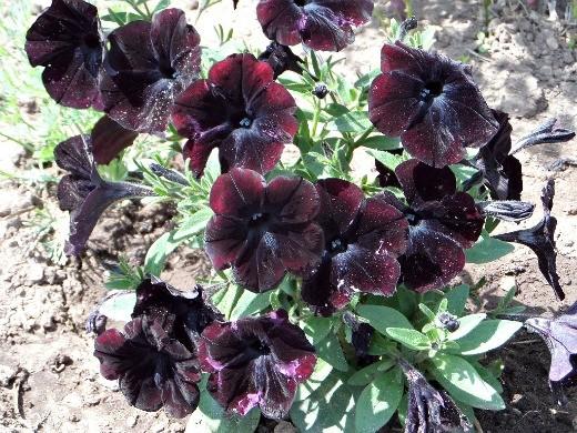 цветок петуния простая, черного цвета