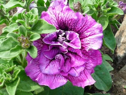 цветок петуния махровая