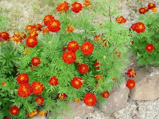 цветы бархатцы на клумбе вдоль газона