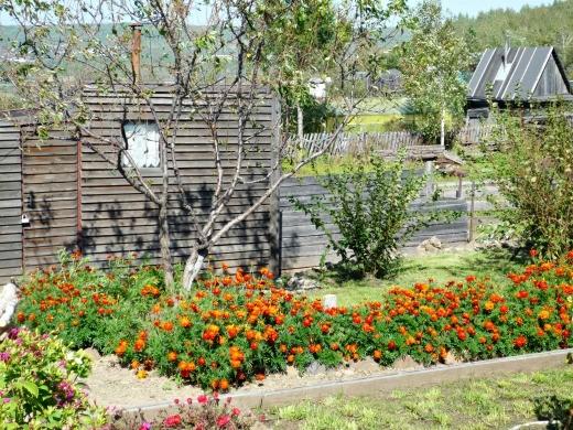 цветы бархатцы, осень