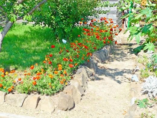 цветы бархатцы растущие возле сада