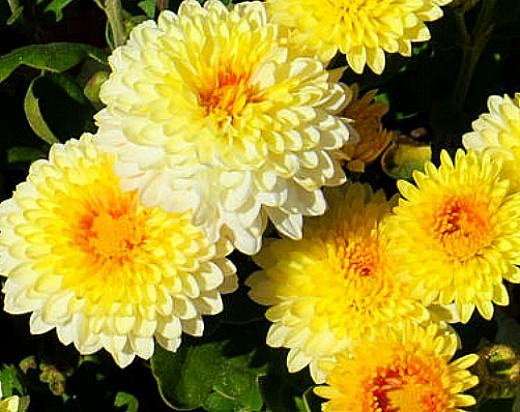 Цветы хризантемы на даче