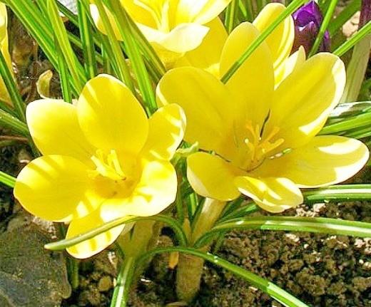 цветы крокусы желтые