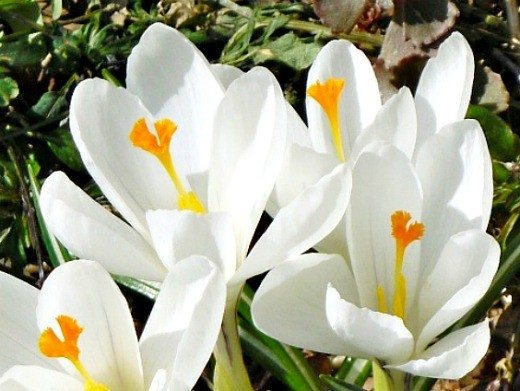 цветы крокусы белые