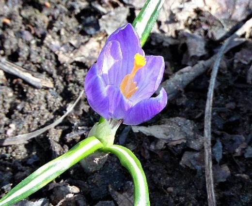 цветы крокусы - показался первый крокус