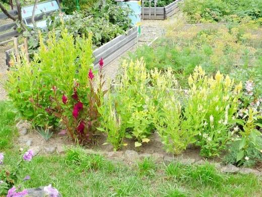 цветы целозия метельчатые (перистые) на дачной клумбе