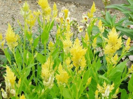 цветы целозия метельчатая желтая