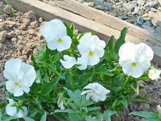 виола белая, цветок