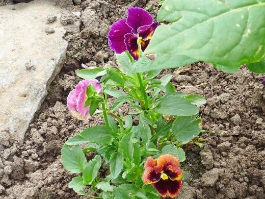 виола, разноцветные цветки