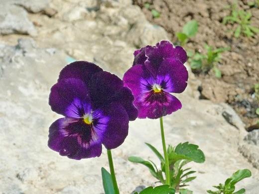 виола фиолетовая, цветок