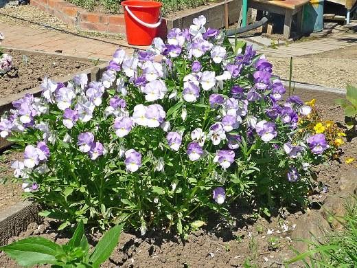 виола голубая и синяя, цветки