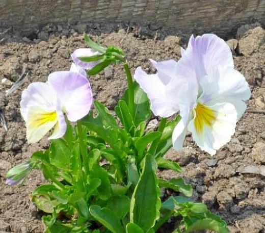 виола цветок на клумбе