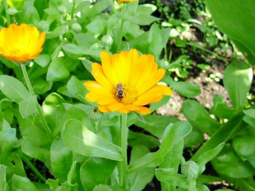 календула, выращивание - пчела на цветке