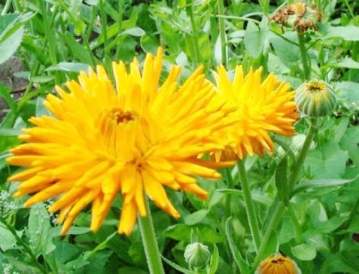 календула, выращивание на клумбе