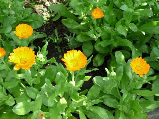 календула оранжевого цвета, выращивание