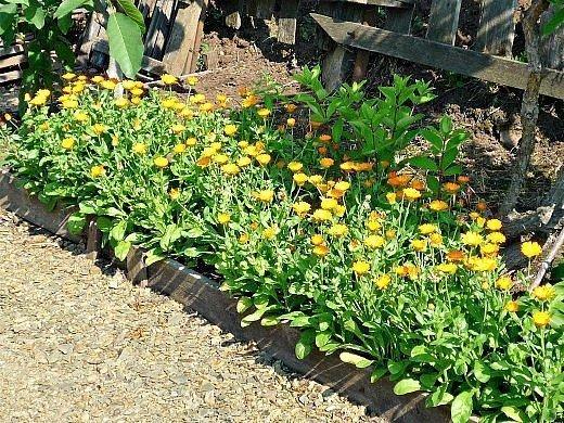 календула, выращивание на даче