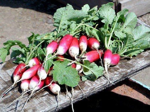 посадка и выращивание редиса на дачном огороде
