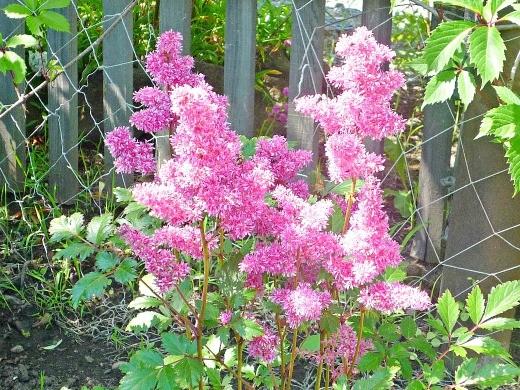 цветок астильба, посадки на даче - розовое цветение