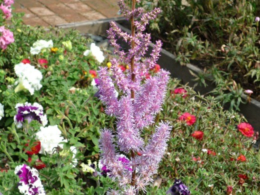 цветок астильба, посадки на даче - цветение