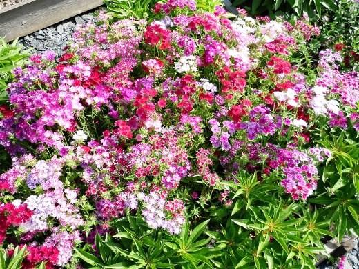 цветы флоксы однолетние, посадка на даче