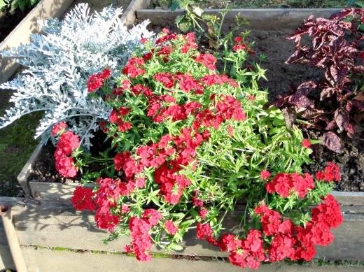 цветы флоксы однолетние, посадка с цинерарией серебристой