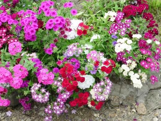 цветы флоксы, посадка на даче