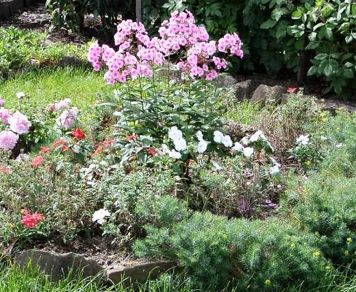 цветы флоксы многолетние, посадка на дачной клумбе
