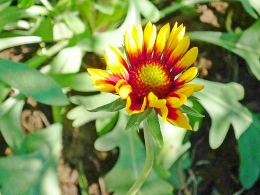 цветы гайлардия на клумбе