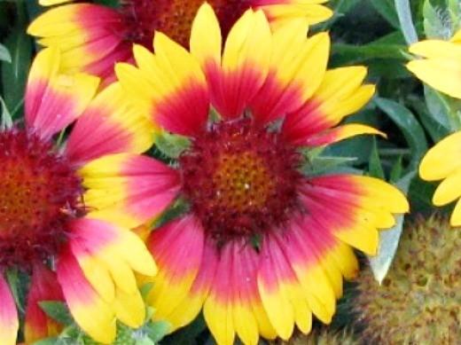цветы гайлардия на даче