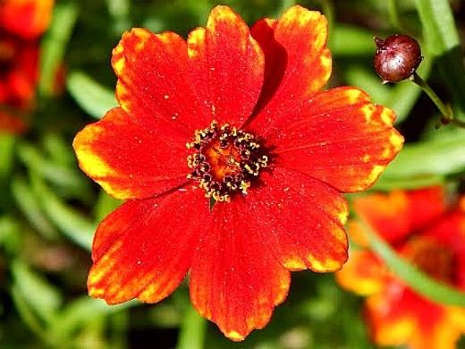 цветы гайлардия на дачной клумбе