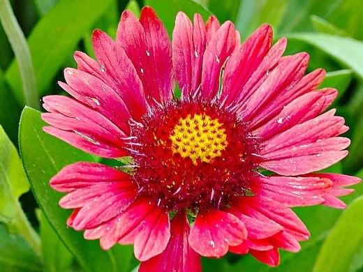 цветы гайлардия, розовая