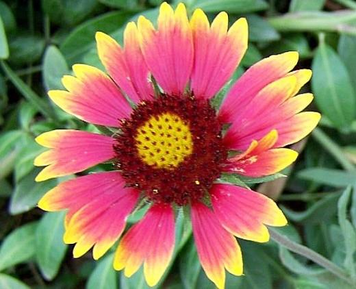 цветы гайлардия, розовая с желтыми кончиками