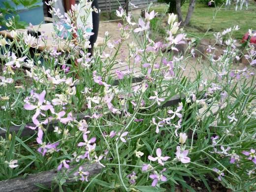 цветы маттиола - обязательно ограждение для цветов