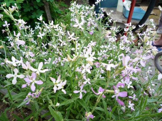 цветы маттиола на дачной клумбе